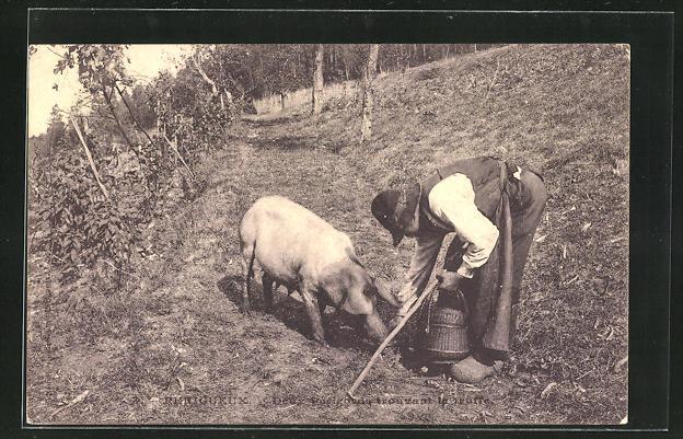 AK Périgueux, Trüffelschwein bei der Arbeit