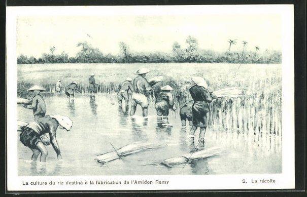 AK Landwirtschaft, La recoite, La culture du riz destine a la fabrication de l`Amidon Remy