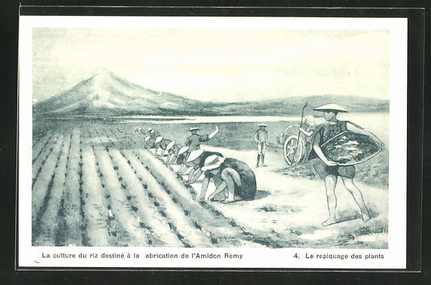 AK Landwirtschaft, Le repiquage des plants, La culture du riz destine a la fabrication de l`Amidon Remy