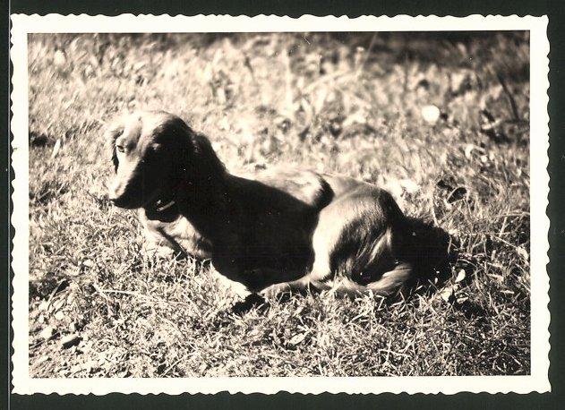 Fotografie Dackel, Hund auf Wiese liegend
