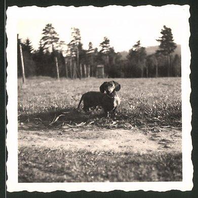 Fotografie Dackel, niedlicher Hund aufeiner Wiese