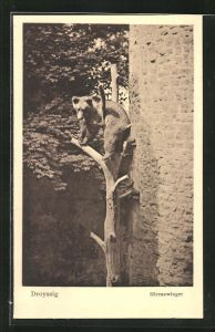 AK Droyssig, Bärenzwinger, Bär auf dem Kletterbaum