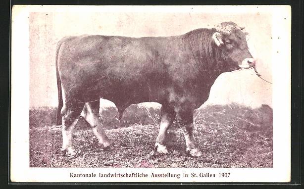 AK St. Gallen, Kantonale landwirtschaftliche Ausstellung 1907, Prämierter Zuchtbulle 0