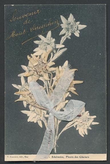 Trockenblumen-AK Edelweiss mit Schleife, Fleurs des Glaciers 0