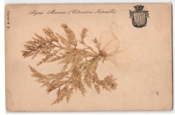 Trockenblumen-AK Algues Marines (Coloration Naturelle), getrocknete und gepresste Algen