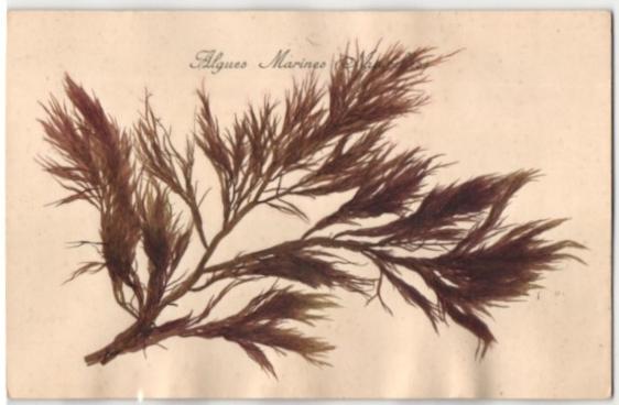 Trockenblumen-AK Algues Marines (Naturelles), getrocknete und gepresste Algen