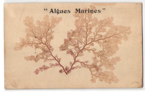 Trockenblumen-AK Algues Marines, Getrocknete und gepresste fädig verzweigte Algen