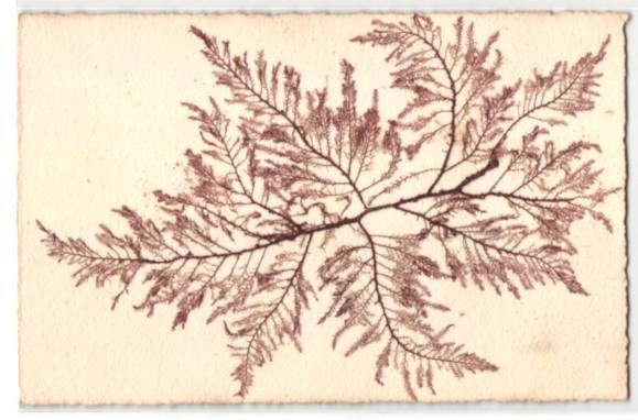 Trockenblumen-AK Getrocknete und gepresste fädig verzweigte Algen