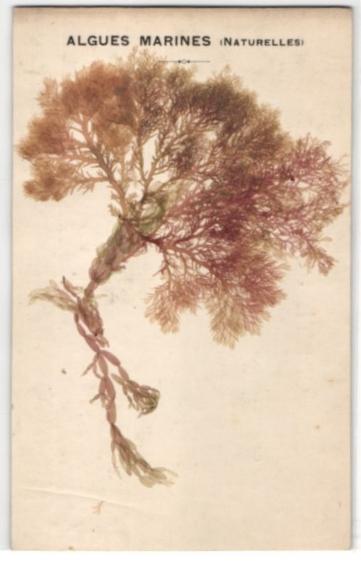 Trockenblumen-AK Algues Marines, getrocknete fädig verzweigte Algen