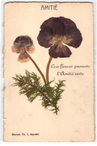 Trockenblumen-AK Getrocknete und gepresste Stiefmütterchen