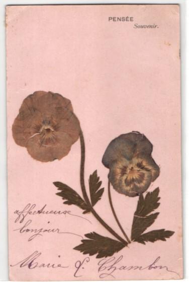 Trockenblumen-AK Pensée, Getrocknete und gepresste Stiefmütterchen 0