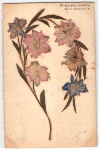 Trockenblumen-AK Pied d`Alouette, Getrocknete und gepresste Blumen