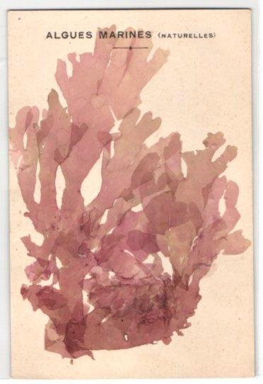 Trockenblumen-AK Algues Marines, Getrocknete und gepresste Algen von roter Farbe 0