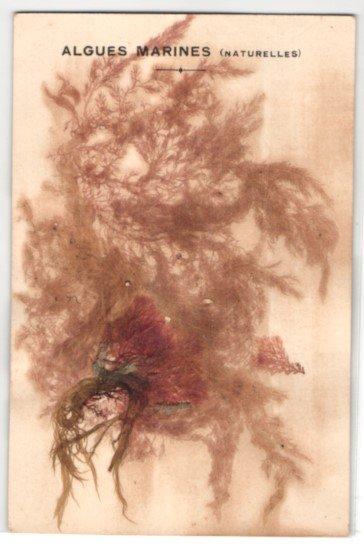 Trockenblumen-AK Algues Marines, Getrocknete und gepresste Algen