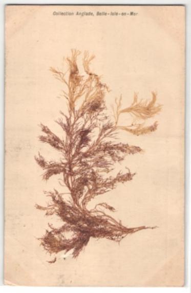 Trockenblumen-AK Collection Anglade, Belle-Isle-en-Mer, Getrocknete und gepresste Algen 0