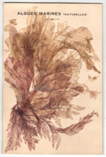 Trockenblumen-AK Algues Marines, Getrocknete und gepresste Algen grün-rötlicher Farbe