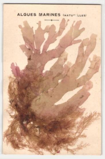 Trockenblumen-AK Algues Marines, Getrocknete und gepresste Algen 0