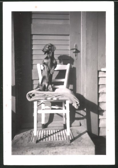 Fotografie Hund - Dackel macht Männchen auf einem Stuhl