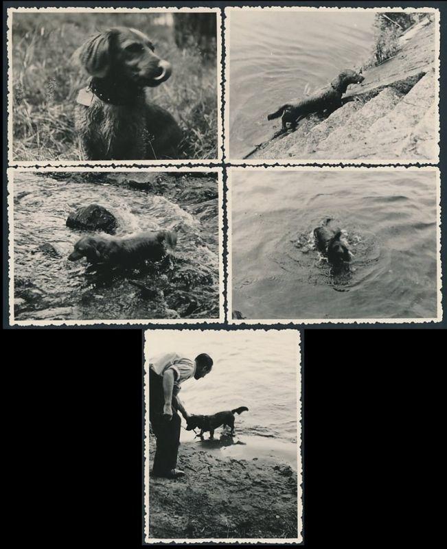 5 Fotografien Hund - Dackel, Langhaar-Dackel beim Schwimmen und aportieren