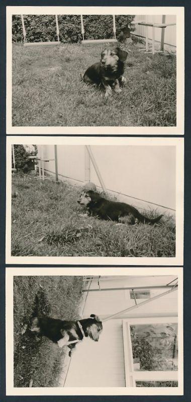 3 Fotografien Hund - Dackel, Langhaardackel macht Sitz und Männchen