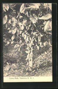 AK Dominica, Cocoa Pods