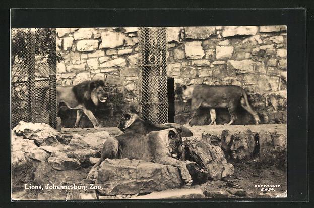 AK Johannesburg, Zoo, Lions, Löwen