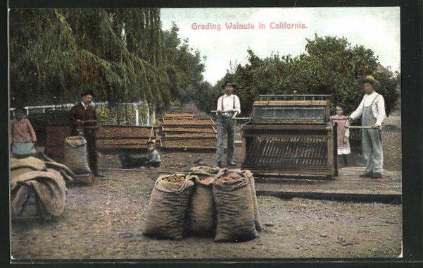 AK California, Grading Walnuts, Männer bei der Walnuss-Ernte