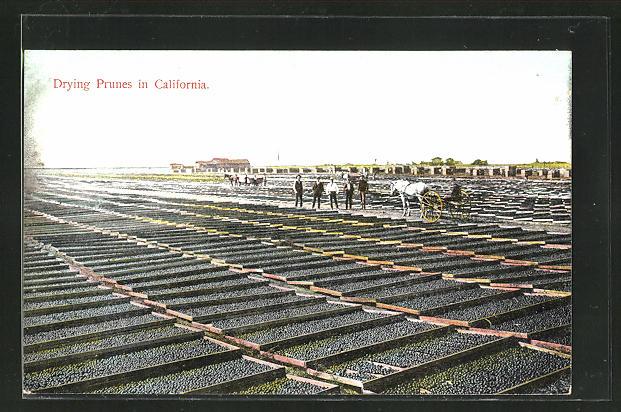 AK California, Drying Prunes, Pflaumen werden getrocknet