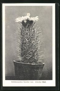 AK Kaktus Echinocactus bicolor var. tricolor Gal. mit grosser Blüte