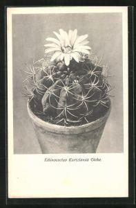 AK Kaktus Echinocactus Kurtzianus Gürke mit grosser Blüte