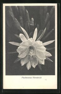 AK Kaktus Phyllocactus Pfersdorffi mit grosser Blüte