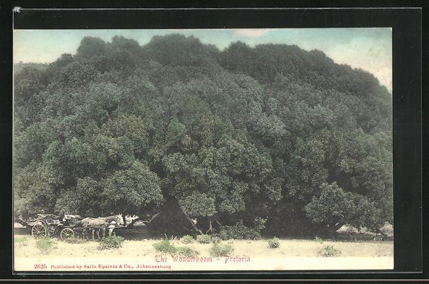AK Pretoria, The Wonderboom, riesiger Baum