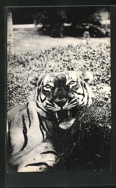 Foto-AK Tiger auf einer Wiese