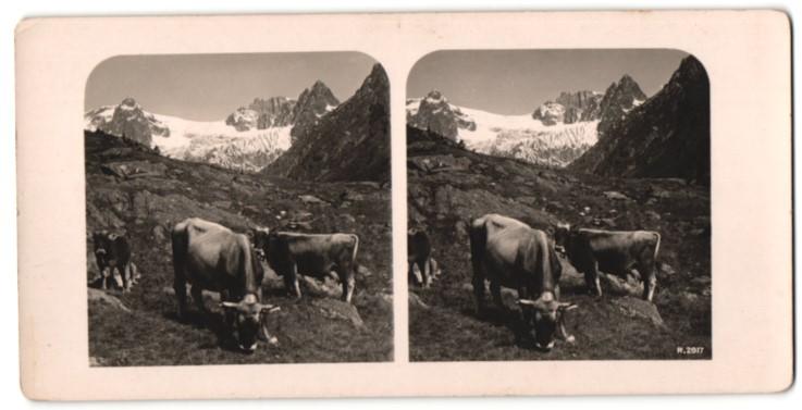 Stereo-Fotografie Ansicht Susten-Alp, grasende Rinder