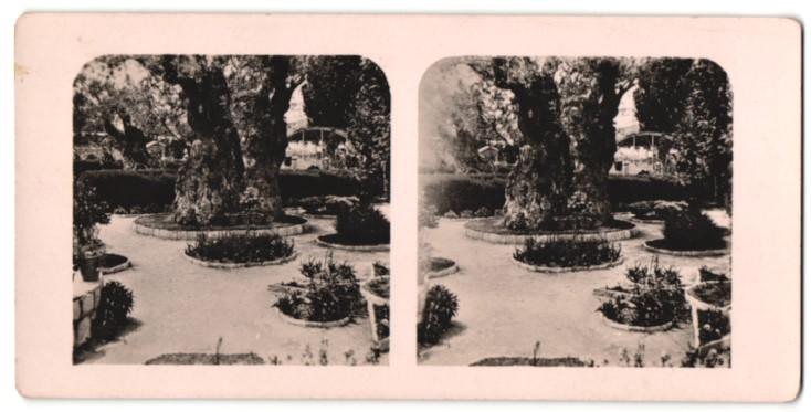 Stereo-Fotografie Ansicht Gethsemane, die 2000 jähr. Olivenbäume