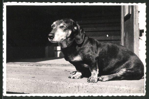 Fotografie Hund Dackel, betagter Hund döst in der Sonne