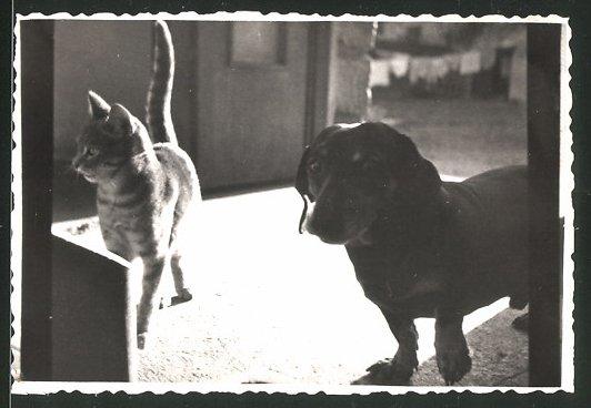 Fotografie Katze und Hund - Dackel friedlich nebeneinander