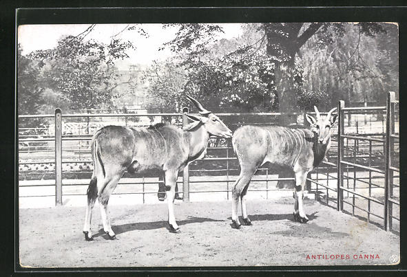 AK Anvers, Jardin zoologique, Antilopes Canna