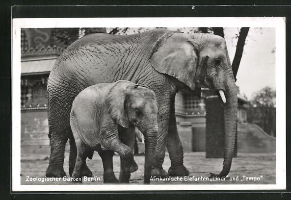 AK Berlin, Afrikanische Elefanten Lindi und Tempo im Zoo