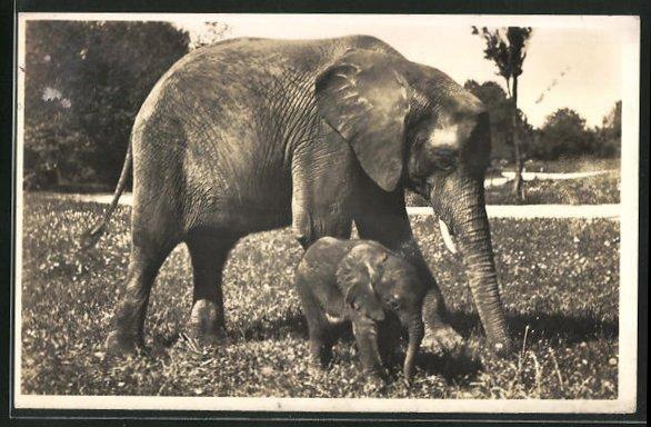 AK München, Elefant Adam mit seiner Mutter Matadi im Tierpark Hellabrunn