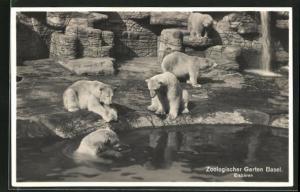 AK Basel, Eisbären im Zoologischen Garten