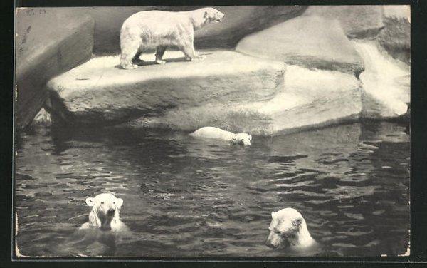 AK Nürnberg, Eisbären im Tiergarten