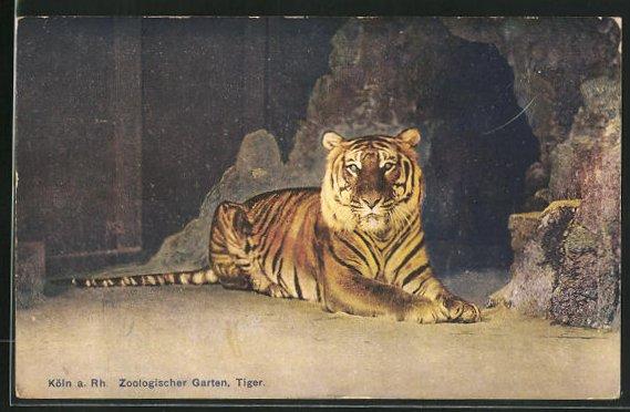 AK Köln a. Rh., Tiger im Zoologischen Garten