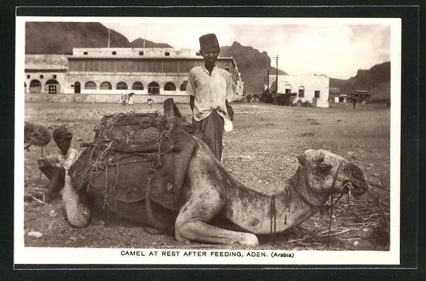 AK Aden, Camel at Rest After Feeding