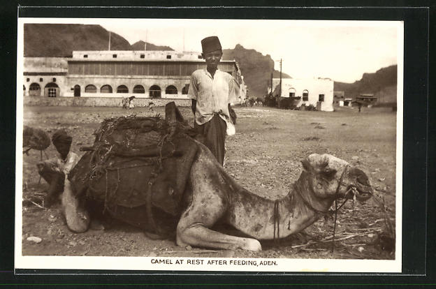 AK Aden, Camel at Rest After Feeding