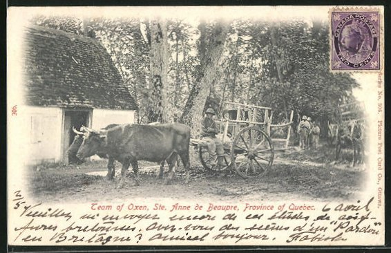 AK Ste. Anne de Beaupre, Team of Oxen