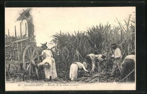 AK Guadeloupe, Recolte de la canne a sucre
