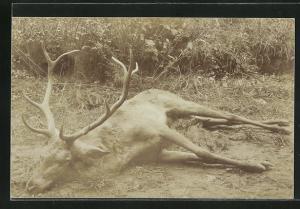AK Geschossener Hirsch liegt im Gras