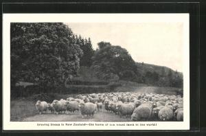 AK Neuseeland, Droving sheep in New Zealand, Schafherde