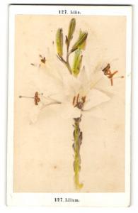 Fotografie F. Fridrich, Prag, Lilie - Lilium, blühende Blume